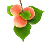 Apricots on a branch with leaves. 