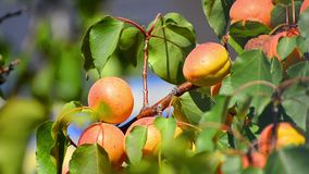 Apricots on the branch stock video footage