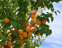 Apricots on a branch. Royalty Free Stock Photography