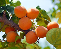 Apricots on a branch. Royalty Free Stock Image