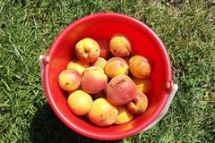 Apricots in bucket Royalty Free Stock Photos