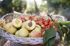 Apricots and cherries in basket Stock Photography