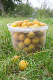 Apricots are collected in a bucket Royalty Free Stock Image