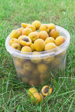 Apricots are collected in a bucket Royalty Free Stock Photo