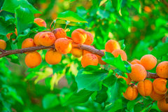 Apricots Royalty Free Stock Image