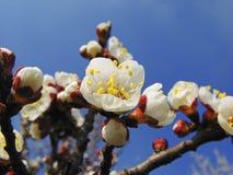 apricots dismissed flowers Στοκ Εικόνες