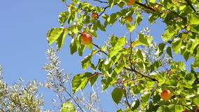 Apricots fruit at branch of tree a sunny day. Apricots fruit hanging at branch of tree a sunny day stock video footage