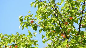 Apricots fruit hanging at branch of tree in agricole plantation a sunny day. Apricots fruit hanging at branch of tree a sunny day stock footage