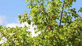 Apricots fruit hanging at branch of tree in plantation a sunny day. Apricots fruit hanging at branch of tree a sunny day stock footage