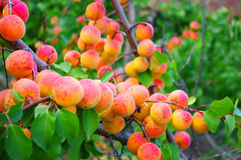 Apricots  in a garden Stock Image