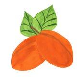 Apricots, gouache paint. A pair of apricots, a child's drawing, gouache paint, scanned stock illustration