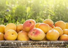 Apricots on grass background Stock Photography