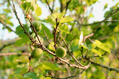 Apricots growing on branch in spring sun Stock Image
