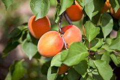 Apricots growing on an  tree. Royalty Free Stock Photo