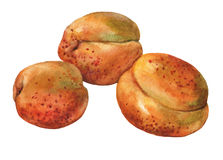 Apricots.. Hand drawn watercolor painting Royalty Free Stock Images