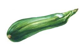 Zucchini.  Hand drawn watercolor. Stock Photos