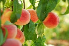 Apricots in the late summer Stock Image