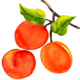 Apricots with leaves on a white background Royalty Free Stock Image
