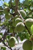 Apricots not still walls. royalty free stock photo