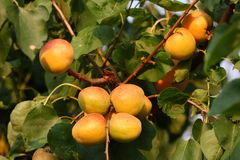 Apricots in an orchard. Ready for harvesting Stock Images