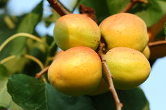 Apricots in an orchard. Ready for harvesting Stock Photography