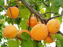 Apricots. Picture of a tree branch filled with apricots royalty free stock photo