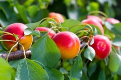 Apricots in the sun Royalty Free Stock Photo