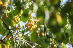 Apricots in the sun. Juicy fruit on the branches of trees. Ripe apricot is ready for harvesting. stock photos
