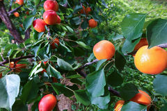 Apricots on a Tree Royalty Free Stock Photos