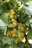 Apricots on the tree Stock Image