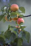 Apricots on the tree Royalty Free Stock Photography