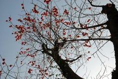 Apricots tree Stock Photography