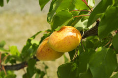 Apricots on tree branch Stock Photography