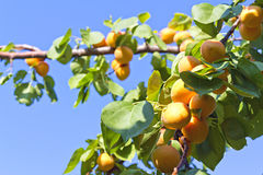 Apricots on a tree branch Stock Photography