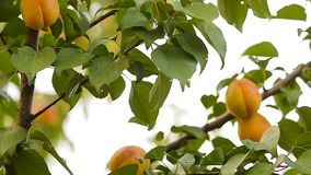 Apricots on a tree branch. Beautiful orange apricots on a tree branch stock video
