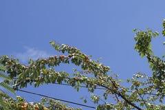 Apricots tree Stock Image