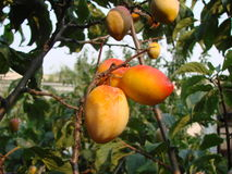 Apricots on the tree. Fruits of ripe fruit on a tree Royalty Free Stock Images