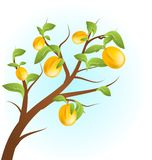 Apricots tree Stock Images