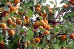 Apricots on tree Stock Photos