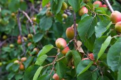 Apricots on the tree on the nature Stock Image