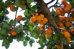 Apricots on a tree. Ripe apricots on a tree against the sky Royalty Free Stock Photography