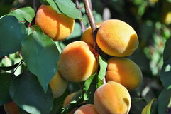 Apricots on tree Stock Photos