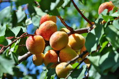 Apricots on tree Stock Images