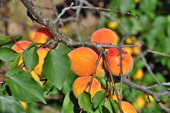 Apricots on tree Royalty Free Stock Photography