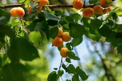 Apricots are tree-ripened, tasty , royalty free stock photos
