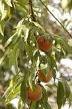 Apricots4 Fotos de Stock Royalty Free