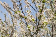 Aprikons blommar att blomma Arkivbilder