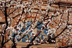 Aprikons blommar i den Krutitskoe sammansättningen Arkivbild