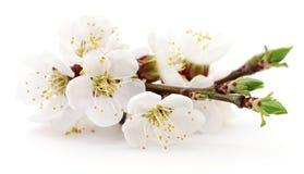 Aprikons blommar på vit Fotografering för Bildbyråer