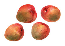 Aprikors Hand dragen vattenfärg Arkivfoto